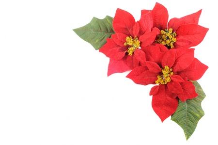 hulst: Kerst bloem poinsettia met blad op een witte achtergrond Stockfoto