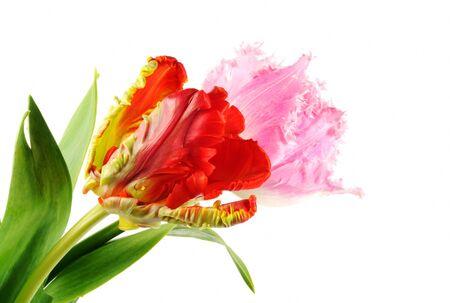 Spring tulip flowers, close up, isolated on white background photo