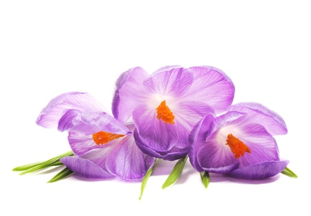 Spring Crocus flowers, close up, on a white background photo
