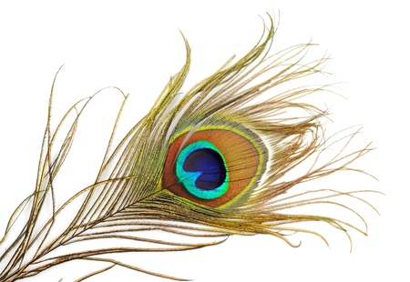 Beautiful peacock feather, close up ,on a white background photo