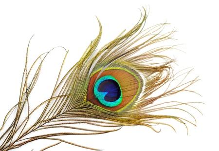 pluma de pavo real: Pluma de pavo real Bella, primer plano, sobre un fondo blanco