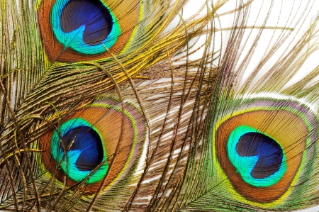 Three Beautiful peacock feathers, close up , micro shot photo