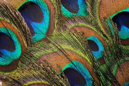 Beautiful peacock feather background, close up  photo