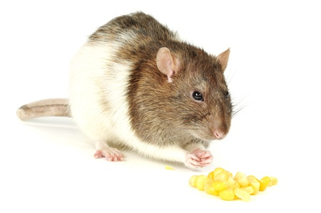 Hungry rat eating corn, on a white background