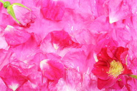 Background from rose petals, close up,  photo