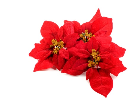 Poinsettias flower 스톡 콘텐츠
