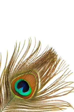 pavo: Peacock feather Stock Photo