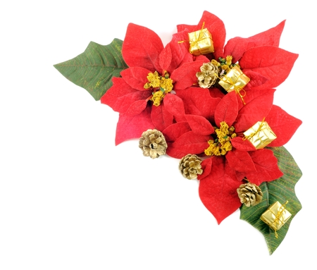Poinsettias flower photo