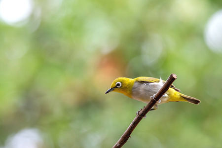 Oriental white-eye bird is a small bird with olive and yellow color on its head, back, wing and tail. Only its chest and belly are white.