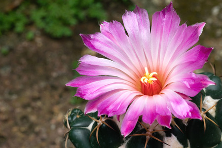 A big beautiful pink flower of cactus which latin name is a big beautiful pink flower of cactus which latin name is coryphantha elephantidens is mightylinksfo