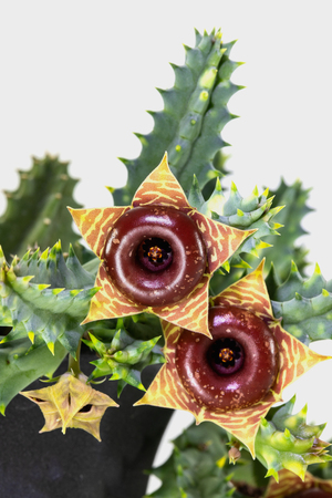 Flowers of Huernia cactus are dark red and yellow colours. It is the succulent plant and native in desert where is hot and dry. So it should be grown in glasshouse or greenhouse to imitate its nature.