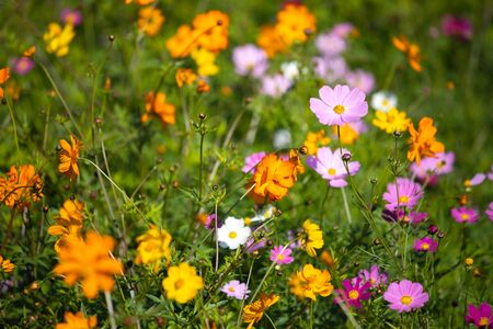 Colourful Cosmos flowers are blooming when autumn season is coming.