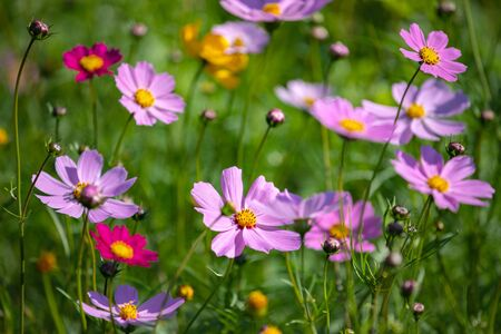 Colourful Cosmos flowers are blooming when autumn season is coming 写真素材
