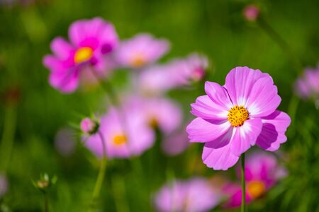 Colourful Cosmos flowers are blooming when autumn season is coming