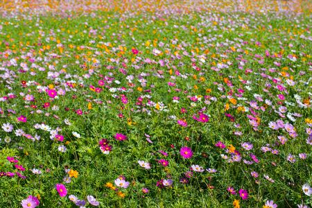 Colourful Cosmos flowers are blooming when autumn season is coming Stok Fotoğraf