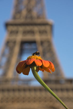 A bee sucking nectar from the beautiful orange Mexican sunflower on Eiffel tower background