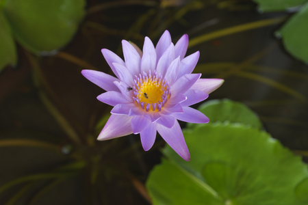 A beautiful purpule lotus and bees