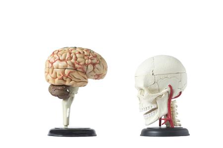 Kunstmatig menselijk die schedelmodel van achtergrond met het knippen van weg, zijaanzicht wordt geïsoleerd