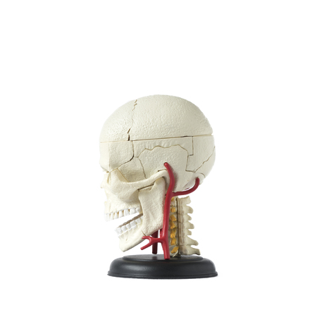 Artificial human skull model, side view