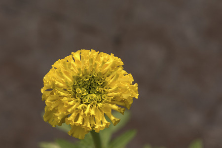A beautiful yellow marigold flower in the garden