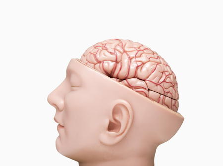Side view of human brain model isolated on the white background Stock Photo