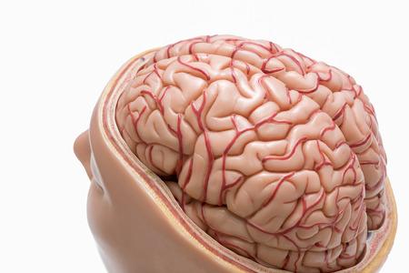 흰 배경에 고립 된 인간 두뇌 모델의 근접 촬영보기