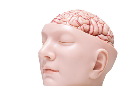 Oblique view of human brain model isolated on the white background