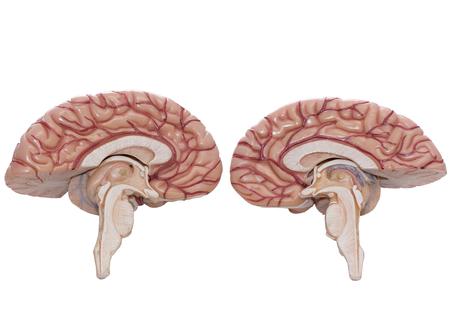 クリッピングパスで白い背景に孤立した人間の脳モデルの内部ビュー