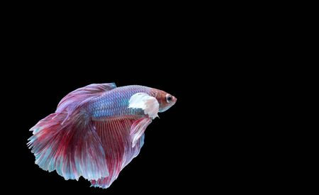 betta: Beautiful multicolored siamese fighting fish isolated on black background Stock Photo