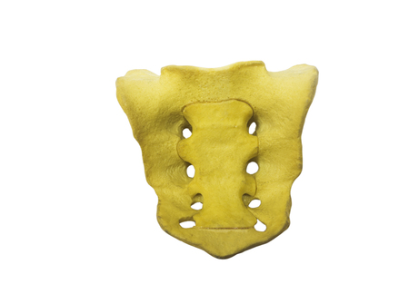 Sacrum bone model isolated on white background with clipping path Stockfoto