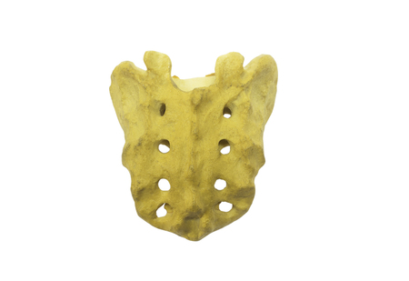 Back view of sacrum bone model isolated on white background with clipping path