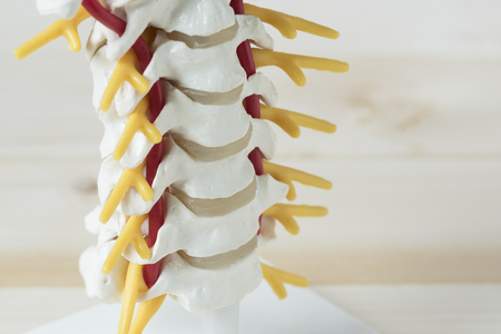 Close-up view of human cervical spine model