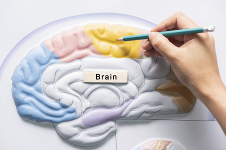 A hand holding pencil to teach human brain anatomy Stock Photo