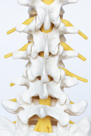 Posterior view of lumbar spine model on white background