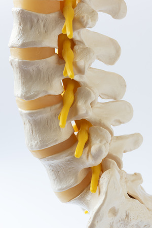 Close-up view of human lumbar spine model on white background Stockfoto - 103013309
