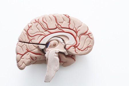 Inside view of human brain model in a half on the white background inside view of human brain model in a half on the white background stock photo ccuart
