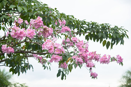 Beautiful pink Tabebuia rosea flowers on cloudy sky in the park