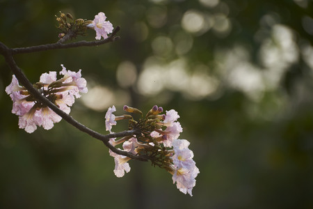 Beautiful pink Tabebuia rosea and sunlight in the evening with bokeh Archivio Fotografico