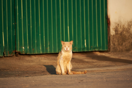 A brown cat sitting with morning sunlight. Background of green zinc wall