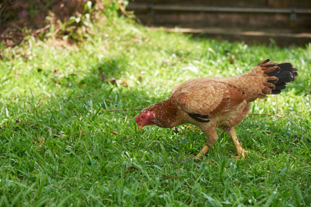 A beautiful rooster looking for food on the grass field
