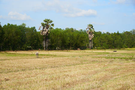 Rural scene and animal wild life at Phatthalung province, Thailand. Buffaloes, egrets in the green field. Stock Photo