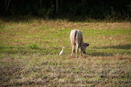 A white egret bird and a buffalo in the green field