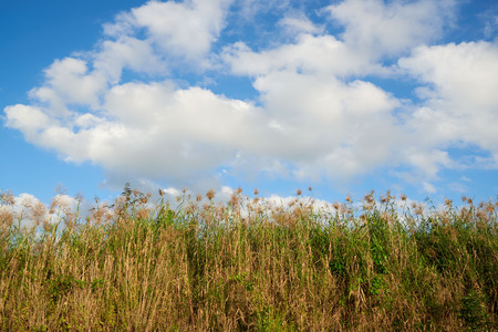 Field of green grass and background of blue sky and clouds