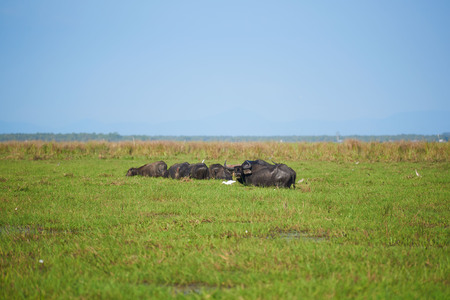 Black water buffaloes and egets in the grass field on blue sky background