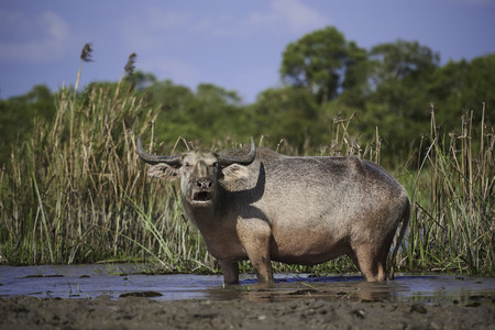 A water buffalo standing in the field on blue sky background at the lake, Phattalung province. Stock Photo