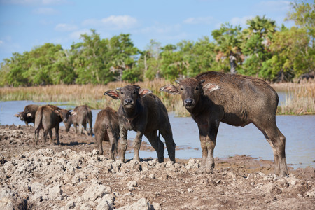 Young water buffaloes standing in the field at Talae Noi, Phatthalung province, Thailand