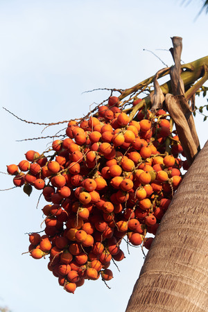 A branch of betel palm nuts on the palm tree