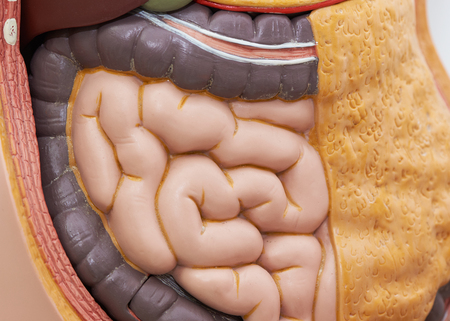 Front view of artificial human small intestines in body model Stock Photo
