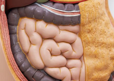 Vista frontal del intestino delgado humano artificial en modelo corporal