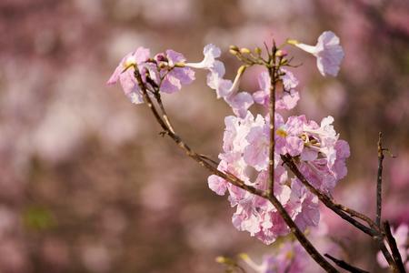Beautiful pink tabeuia rosea flowers in the park